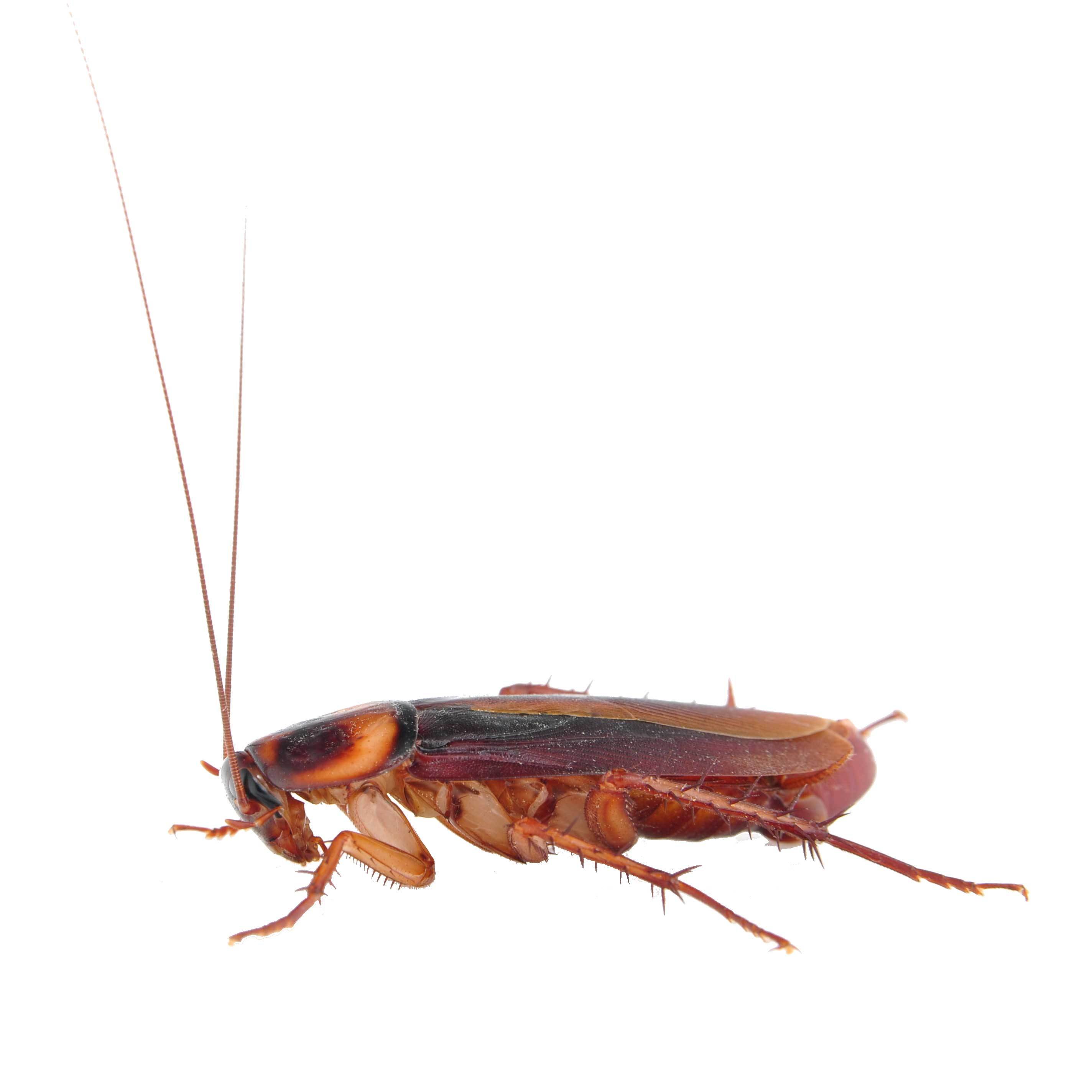 German Cockroaches Extermination and Pest Control - Pest Free Living