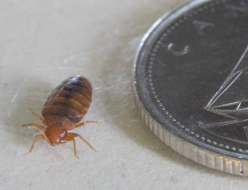 Understanding Bed Bugs & Their Species