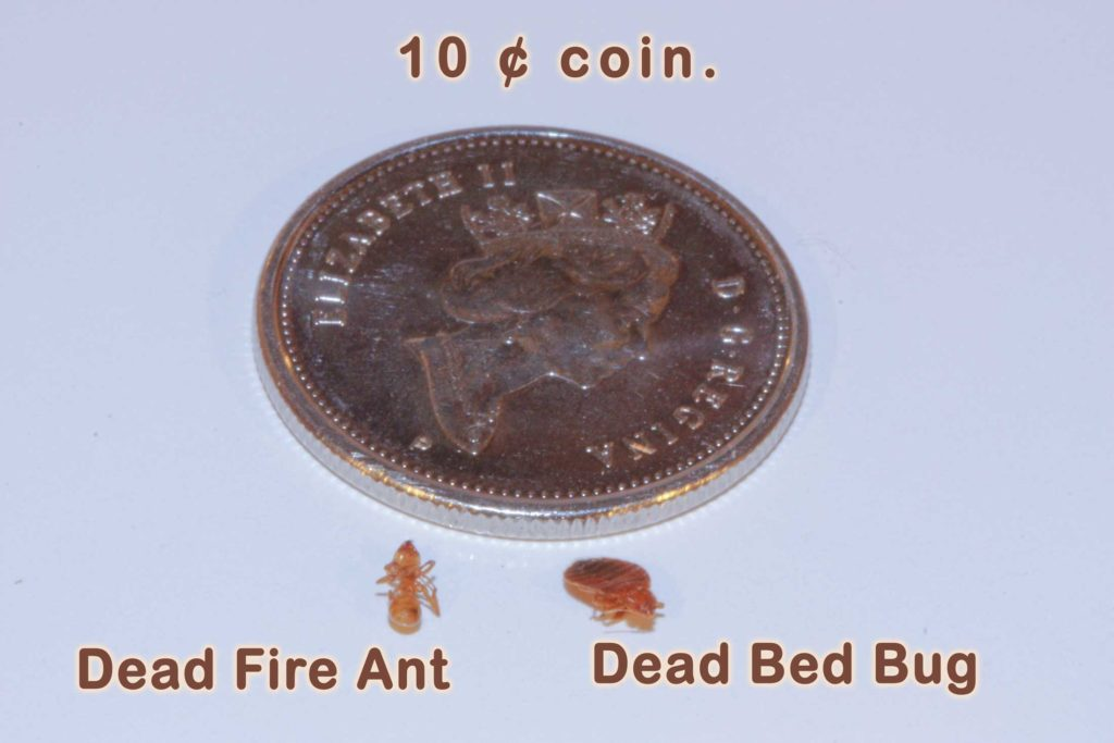 bed bug besides a fire ant and a 10 ¢ coin.